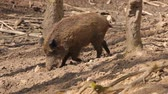 dry season : Wild boar in forest Stock Footage
