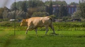 vacas : Cow on a farm