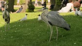 Копенгаген : Grey herons in a park
