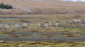 запустить : Reindeer living in Iceland