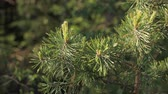 Pine Tree Closeup Wideo