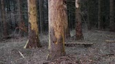 Pine tree trunks in a forest