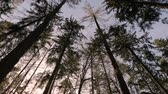 borovice : Forest of Pines