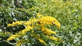 blossoming : Honey plant canadian goldenrod with bees collecting pollen on a windy day a Sunny summer day Stock Footage
