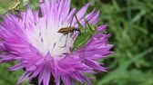 время приема пищи : beetle and green grasshoppers eating nectar from a flower, cornflower, macro video Стоковые видеозаписи