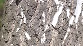 береза : The birch tree bark close-up.
