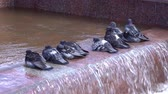 granito : A group of pigeons bathe and drink water on the fountain. Vídeos