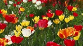 Beautiful field of red , yellow and white tulips