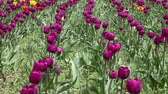Beautiful field of violet tulips