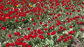 Beautiful field of red tulips Stock Footage