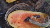 inseto : Red palm weevil on ripe papaya Vídeos