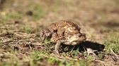 copulate : two frogs - european toad (couple)