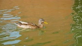 The duck swims on the lake and drinks not clean water. Wild birds close up. Fauna in the natural environment Stok Video