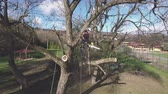 tronco : Lumberjack with chainsaw and harness pruning a tree. Vídeos