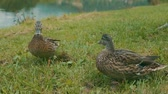 animais selvagens : Ducks on the lake bank on the green grass.