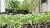 firma : Seedlings grass in the greenhouse with hand. Wideo