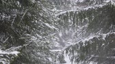 geada : Fir on a winter forest background