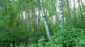 Trunks Of Birch Trees In A Green Forest