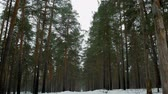 tűk : Walking in the winter forest during the daytime