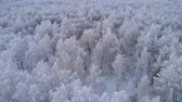 winter tree : Flying over a thick white forest Stock Footage