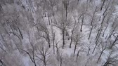 frio : Flying over a birch grove in winter