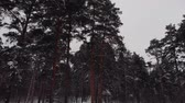In The Winter Forest Between Pines