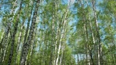 Walk in the birch forest