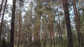 cast : Beautiful Trunks Of Coniferous Forest Stock Footage