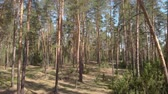 ladin : Beautiful Trunks Of Coniferous Forest Stok Video