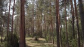 baj : Beautiful Trunks Of Coniferous Forest Stock mozgókép