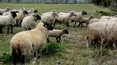 krajina : A flock of grazing shy white sheep behind a fence on a farm. Sheep have yellow marks in their ears.