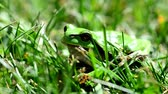 жаба : Closeup of the Green European Tree Frog (Hyla arborea) Sitting in Grass.
