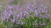 ling : Calluna Vulgaris (heather) bush flapping in wind, macro view.  Stock Footage