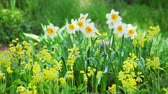 jonquil : White and yellow narcissus on landscaping design flower bed