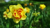 jonquil : Yellow narcissus flower closeup shot with shallow depth of field, 2 views