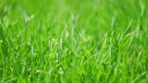 веточка : Fresh new green grass sliding shot, macro view