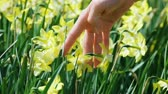 jonquil : Yellow narcissus flowers caressed by woman hand, closeup view Stock Footage