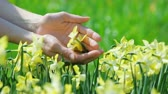 jonquil : Yellow narcissus flowers caressed by woman hands, closeup view Stock Footage