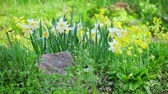 jonquil : White narcissus on landscaping design flower bed