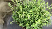 herb : Oregano Plant (not loopable)