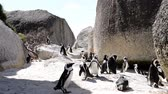 african penguin : African Penguins Stock Footage