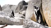 african penguin : African Penguins (Spheniscus Demersus) at Boulders Beach, South Africa