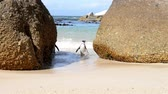 african penguin : African Penguins leaving the water