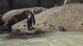 african penguin : Penguins in Simonstown South Africa