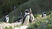 african penguin : Penguins at Boulders Beach Simonstown, South Africa