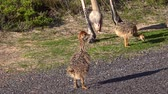 struś : Baby Ostriches (high detailed 4K UHD footage) in South Africa Wideo
