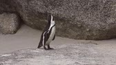 african penguin : Penguins at Boulders Beach (Simonstown, South Africa, 4K UHD)