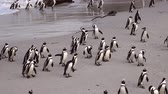 african penguin : African Penguins in Simonstown, South Africa (4K UHD) Stock Footage