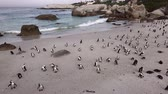 african penguin : African Penguins (at Boulders Beach) in Simonstown, South Africa (4K UHD footage)