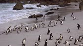 african penguin : Some African Penguins (at Boulders Beach, South Africa, 4K footage)